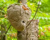 Bald-faced Hornets Hive