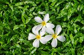 Leelawadee or Plumeria, tropical flower on grass