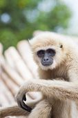 Close Up Face Of White Cheeked ,white Hand Gibbon Or Lar Gibbon