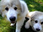 stock photo of newfoundland puppy  - Close up of wo Great Pyrenees Newfie mix puppies - JPG