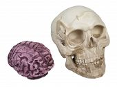 Skull And Brains