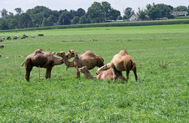 stock photo of camel  - Camels are even - JPG
