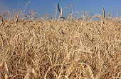 Wheat of hard sorts.