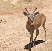 Male Black-taied Deer