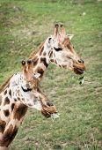 Rothschild's Giraffes Eating Green Leaves