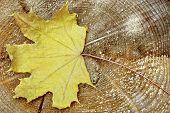 Single Maple Tree Dry Leaf