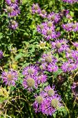 Purple Daisies In Green Garden