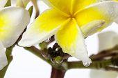 Close-up Frangipani (plumeria)