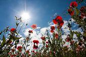 Poppy Field At Warkworth