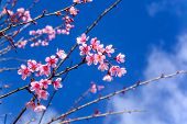Cherry Blossom Or Sakura Flowers With Blue Sky