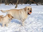Yellow Labradors In Winter With A Ball