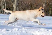 Yellow Labrador In Winter In Snow Running
