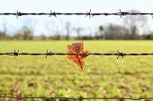 Oak Leaf Caught On Sharp Barbed Wire