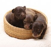 Toy terrier puppies in straw basket, two weeks old