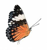 Black and orange butterfly isolated