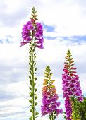 Common Foxglove Growing Tall