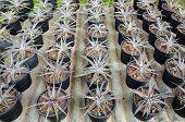 picture of bromeliad  - the Plant Bromeliad Latin name Aechmea fasciata - JPG