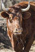 Head Of Cattle