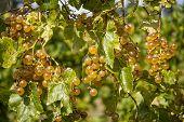 Plump Ripe White Grapes