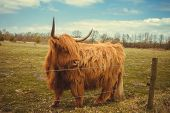 stock photo of highland-cattle  - A highland cow in the fields on a sunny day - JPG