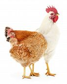 foto of rooster  - Hen and rooster isolated on white studio shot - JPG