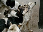 image of stray dog  - a pack of stray street dog asking for food near the bus - JPG