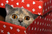picture of portrait british shorthair cat  - British cat in a red gift box - JPG