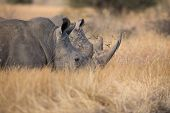 image of rhino  - Lone rhino standing on a open area looking for safety from poachers - JPG
