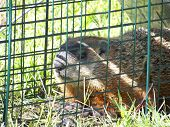 picture of wild hog  - Trapped ground hog in cage by humane methods - JPG