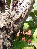 stock photo of gypsy  - photo of a Gypsy Moth caterpillar fresh out of it - JPG