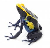 picture of poison arrow frog  - poison arrow frog - JPG