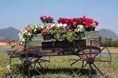 foto of petunia  - Colorful of petunia flowers on trolley or cart wooden in garden - JPG