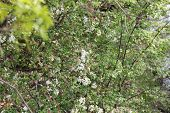 stock photo of dogwood  - White Crab Apple or Dogwood Tree in spring starting to bloom with brook in background - JPG