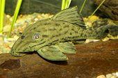 picture of sucker-fish  - Nice aquarium catfish fish from genus Panaque - JPG