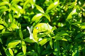 picture of green caterpillar  - Green caterpillar pest eating on green leaf - JPG