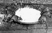pic of rats  - rat temple Karni mata temple Deshnoke India - JPG