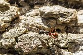 image of ant  - a red and black ant on stone floor