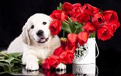 pic of comrades  - golden retriver puppy and spring flowers - JPG