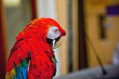 O papagaio na Grécia