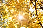 The autumn topic, the sun shine through yellow leaves of tree.