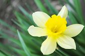 The Rose tulip.