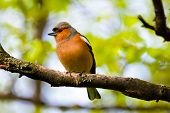 Постер, плакат: Chaffinch bird bird on branch in the Park