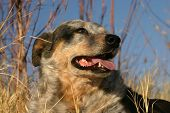 Australian Cattle Dog