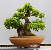 Chinese Hackberry (Celitis Sinenis)