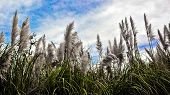 stock photo of pampas grass  - Pampas grass in front of blue sky - JPG