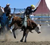 foto of bull riding  - a junior competitor riding a calf - JPG