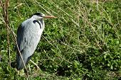 Black Crowned Night Heron.