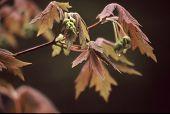Paperbark Maple