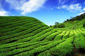 Bahrat Tea Plantation