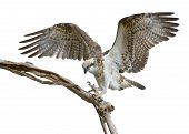 Osprey Landing Podargus Strigoides